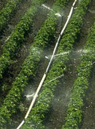 Picture of a crop being watered